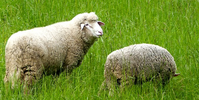 Agriculture, Cattle Breeding, Sheep, Meadow, Pasture