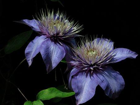 Multi-blue, Clematis, Blue, Nature, Plant