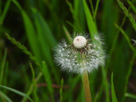 Meadow, Dandelion, Plant, Nature, Sonchus Oleraceus