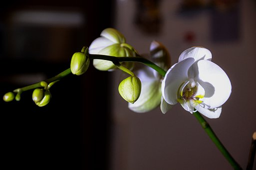 Orchid, Room Flower, Flower, Close-up, Nature, Plant