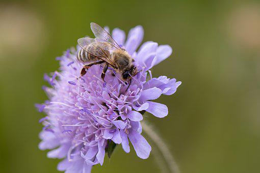 Bee, Nectar, Insect, Pollen, Honey Bee, Blossom, Bloom