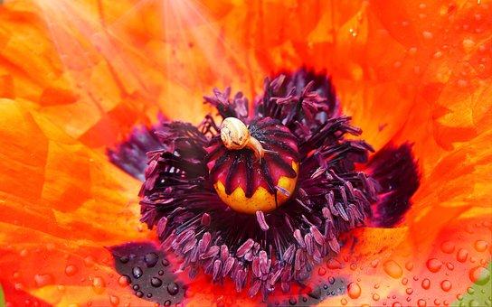 Poppy, Flower, Posts, Snail, Molluscum, Cup, Rain