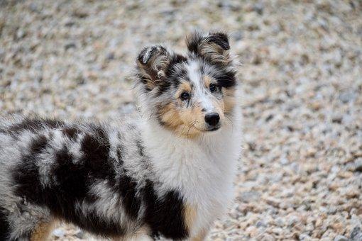 Dog, Dog Berger Shetland, Pup, Puppy, Color Blue Merle