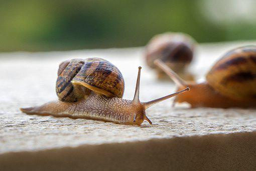 Snails, Gastropods, Molluscs, Animals, Shell