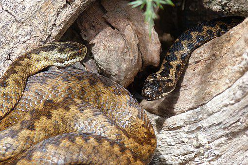 Snakes, Adders, Reptiles, Slither, Venomous, Curled
