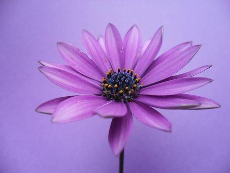 Spanish Margriet, Flower, 2019, Purple, Flora, Margriet