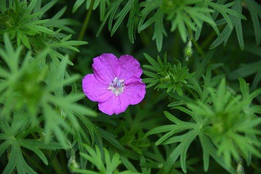 Flower, Pink, Purple, Bloom, Spring, Small