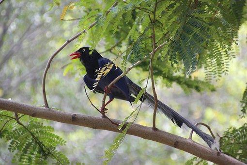 Taiwan Blue Magpie, Taiwan Dark Blue Magpie