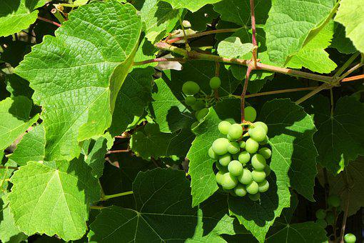 Grapes, Screw, Fruit, Viticulture, Vineyard, Green
