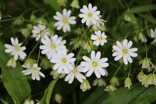 Stellaria Holostea, Chickweed, Programming, White