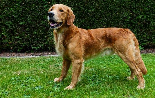 Dog, Friend, Animal, Pet, Vierbeiniger Friend, Portrait