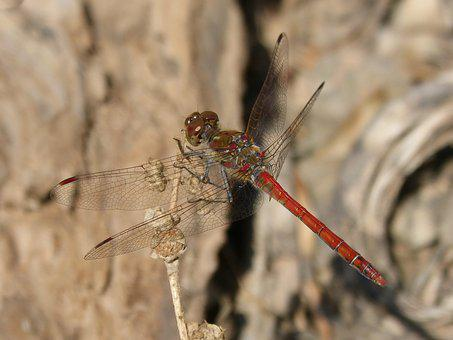 Dragonfly, Annulata Trithemis, I Odonado, Winged Insect