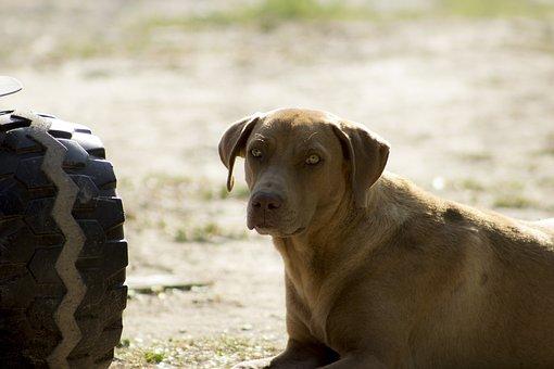 Dog, Pet, Brown Dog, Sad Dog, Docile Pet