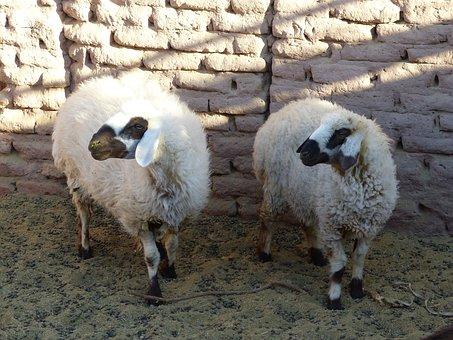 Iran, Sheep, Desert, Oasis, Desert Camp, Dust, Drought