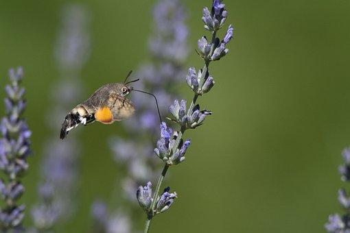 Butterfly, Forage, Lavender, Garden, Summer, Fly