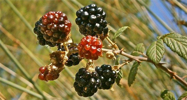 Fruit, Mora, Zarza, Nature, Wild