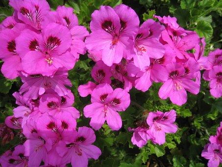 Bae Largo Nyumu, Pink, Flowers, Green, Leaf, Yokosuka