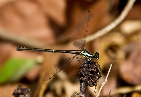 Dragonfly, Insect, Golden, Shiny, Black, Wings, Lacy