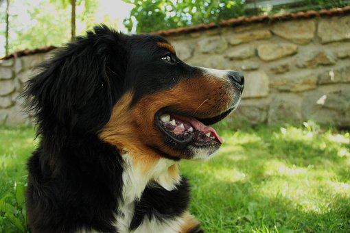 Bernese Mountain Dog, Dog, Large, Puppy, Cute, Animal