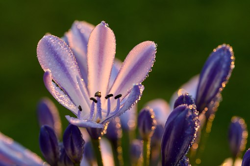 Agapanthus, Lily Of The Nile, Lily, Flower, Plant