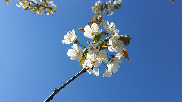 Flowers, Cherries, Morellblomster, Our, May