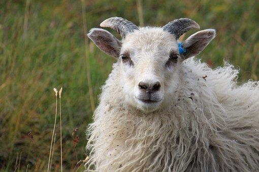 May, Grass, Horn, Grazing, Lamb, Both, Animals