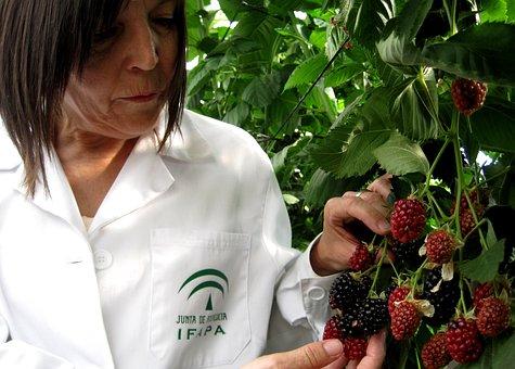 Blackberries, Fruit, Mora, Wild