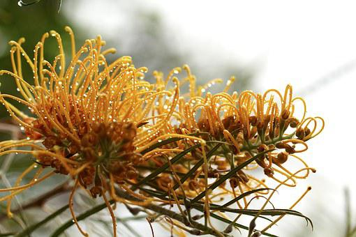 Grevillea, Australia, Outdoor, Closeup, Isolated