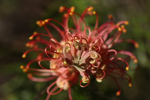 Grevillea, Outdoor, Closeup, Isolated, Coastal