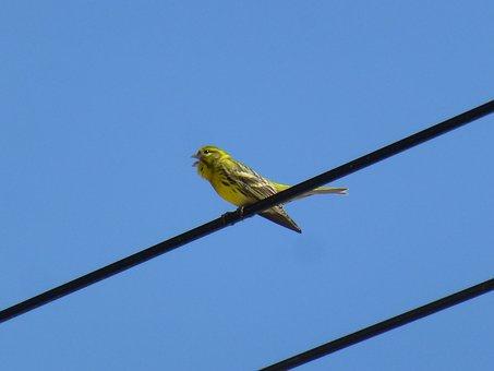 Passerines, Birds, I Verdecillo Singing
