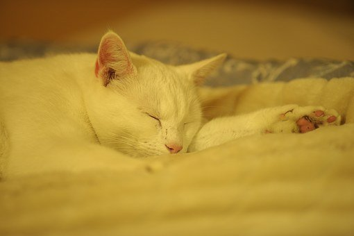 Solid White Cat, Cat, Rest, Ro, Peace, Relaxation