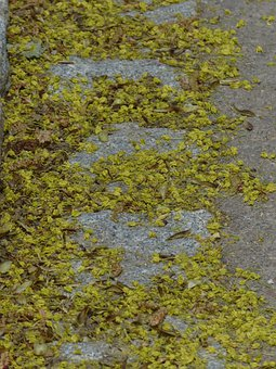 Lime Blossom, Pollen, Bee Pollen, Road, Contamination
