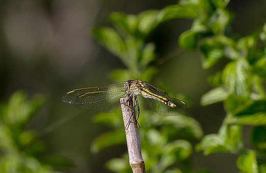 Dragonfly, Insect, Black, Yellow, Wings, Lacy, Resting