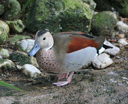 Ringed Teal, Callenetta Leucophrys, Blue Bill Duck