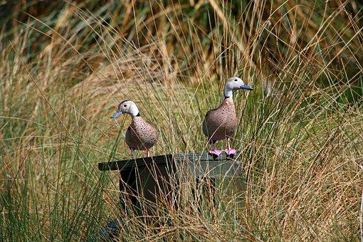 Ringed Teal, Ringed Teals, Duck, Ducks, Bird, Beautiful