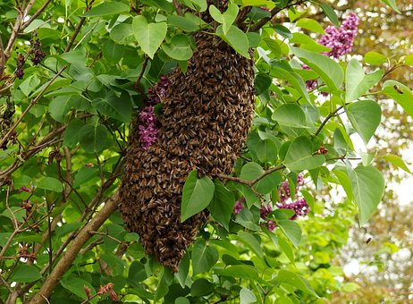 Swarm, May, Bees, Insect, The Nature, Forest, Fauna