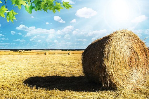 Field, Wheat, Agriculture, Cereals, Cornfield, Epi