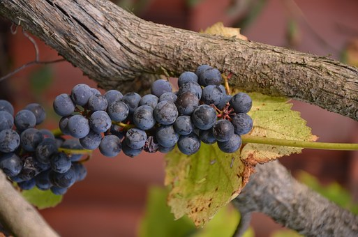 Bunch Of Grapes, Tree, Leaf, Summer, Wine, Plant