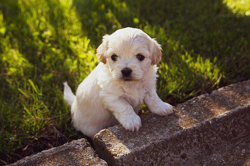 Puppy, Dog, Pet, Animal, Cute, Adorable, Young, Doggy