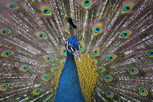 Animal, Bird, Peacock, Peacocks, Indian Peacock