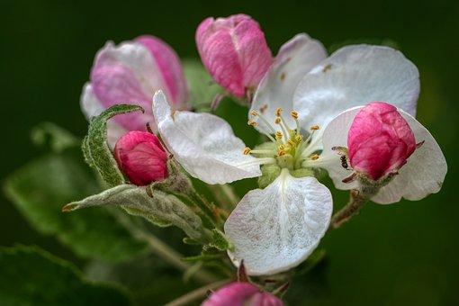 Apple Blossom, Apple Tree, Bloom, Spring, Blossom