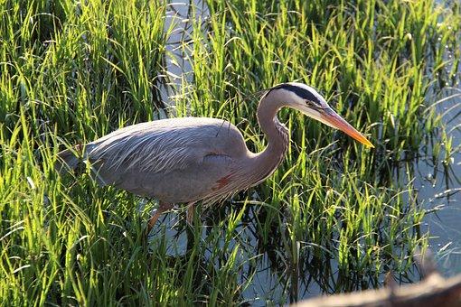 Bc, Canada, Port Moody, Shoreline Trail, Heron, Nature