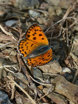 Butterfly, Marsh Fritillary, Orange Butterfly, Beauty