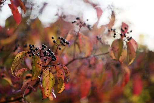 Berries, Leaves, Red, Yellow, Black, Autumn, Branch