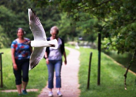 Black-headed Gull, Sea Bird, Seagull, Low Flying Bird