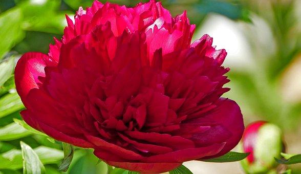 Nature, Garden, Flower, Blossom, Bloom, Red, Light, Sun