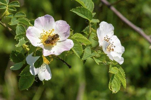 Wildflower, Brian, Rose, Roses, Bloom, Blooms At