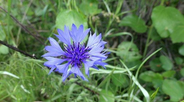Wildflower, Blue, Purple