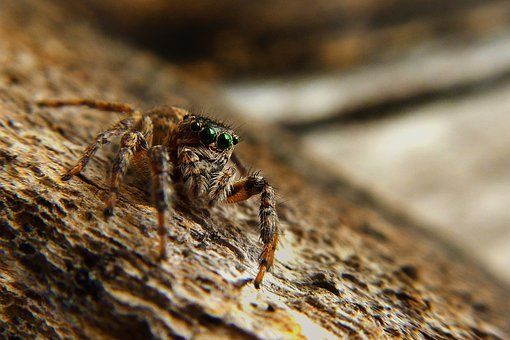 Spider, Eight, Brown, Insect, Insects, Animals, Nature