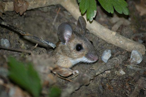 Mouse, Wood Mouse, Nager, Rodent, Brown, Hide